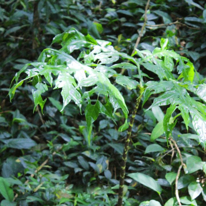 Jergon Sacha Inca Botanica